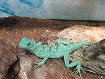 Χαριτωμένος βασιλίσκος σε έναν ζωολογικό κήπο επαφών στοκ φωτογραφία με δικαίωμα ελεύθερης χρήσης