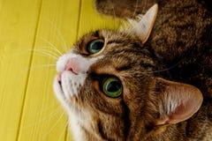 Χαριτωμένος, γάτα, πολύχρωμη σε ένα χρωματισμένο κίτρινο υπόβαθρο πολύχρωμη γάτα με τα όμορφα μάτια διάστημα αντιγράφων στοκ εικόνα