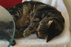 Χαριτωμένος, για χάδια μαύρος και καφετής κατσαρωμένος γάτα επάνω κοιμισμένος στοκ φωτογραφία