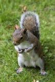 Χαριτωμένος γκρίζος σκίουρος Στοκ φωτογραφία με δικαίωμα ελεύθερης χρήσης