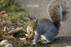 Χαριτωμένος γκρίζος σκίουρος Στοκ Εικόνες