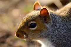 Χαριτωμένος γκρίζος σκίουρος Στοκ Φωτογραφίες