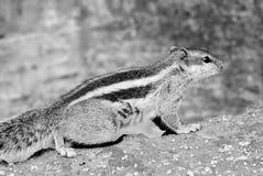 Χαριτωμένος γλιστρώντας σκίουρος στοκ εικόνες