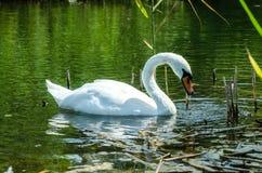 Χαριτωμένος δύτης του Κύκνου Στενό wiev στον άσπρο κύκνο με το κεφάλι του κάτω από το νερό Στοκ Εικόνες