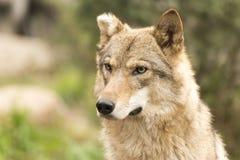 Χαριτωμένος θηλυκός λύκος με το κομμένο αυτί Στοκ Φωτογραφία