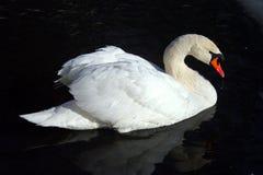 Χαριτωμένος και όμορφος άσπρος κύκνος στη λίμνη βραδιού στοκ φωτογραφίες με δικαίωμα ελεύθερης χρήσης