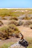Χαριτωμένος καφετής σκίουρος στο βράχο με το υπόβαθρο θάλασσας και παραλιών στοκ φωτογραφία με δικαίωμα ελεύθερης χρήσης