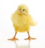 Χαριτωμένος κοτόπουλο που απομονώνεται λίγο στοκ εικόνα με δικαίωμα ελεύθερης χρήσης