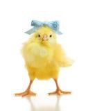 Χαριτωμένος κοτόπουλο που απομονώνεται λίγο Στοκ φωτογραφία με δικαίωμα ελεύθερης χρήσης