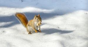 Χαριτωμένος κόκκινος σκίουρος, γρήγορος λίγο δασόβιο πλάσμα Η δασώδης περιοχή critter εκμεταλλεύεται μια θερμή ημέρα άνοιξης στοκ εικόνα