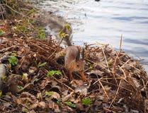 Χαριτωμένος κόκκινος σκίουρος με το καρύδι στο στόμα του στο πάρκο στην όχθη ποταμού στοκ φωτογραφίες