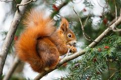 Χαριτωμένος κόκκινος σκίουρος που τρώει τα μούρα Στοκ Φωτογραφίες