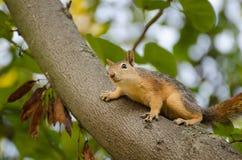 Χαριτωμένος κόκκινος σκίουρος σε έναν κορμό δέντρων Στοκ Φωτογραφία