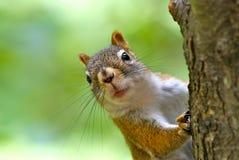 χαριτωμένος κόκκινος σκίουρος Στοκ φωτογραφία με δικαίωμα ελεύθερης χρήσης