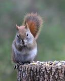 χαριτωμένος κόκκινος σκίουρος Στοκ εικόνα με δικαίωμα ελεύθερης χρήσης