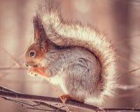 Χαριτωμένος κόκκινος σκίουρος Sciurus Vulgaris στο δέντρο στοκ εικόνες