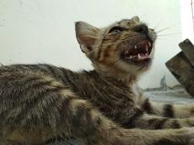 Χαριτωμένος λίγη γάτα που χασμουριέται στοκ εικόνες με δικαίωμα ελεύθερης χρήσης