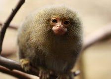 Χαριτωμένος λίγος πίθηκος Στοκ φωτογραφία με δικαίωμα ελεύθερης χρήσης