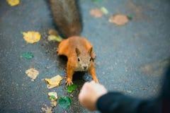 Χαριτωμένος λίγος σκίουρος που τρώει από το χέρι Στοκ Εικόνα