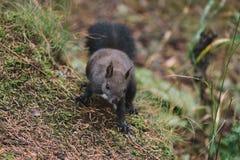 Χαριτωμένος λίγος σκίουρος υπαίθρια Στοκ φωτογραφίες με δικαίωμα ελεύθερης χρήσης