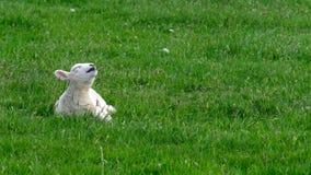 Χαριτωμένος λίγο αρνί που ξυπνά και που χασμουριέται Στοκ φωτογραφία με δικαίωμα ελεύθερης χρήσης