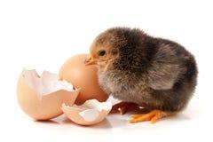 Χαριτωμένος λίγο κοτόπουλο με το αυγό που απομονώνεται στο άσπρο υπόβαθρο Στοκ Φωτογραφίες