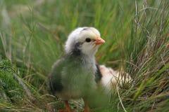 Χαριτωμένος λίγο κοτόπουλο στη χλόη Στοκ Εικόνες