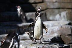 Χαριτωμένος λίγο rockhopper penguin στη φύση που φαίνεται βιότοπος Στοκ Εικόνες