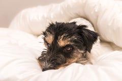 Χαριτωμένος μικρός ύπνος σκυλιών στο κρεβάτι με την άσπρη κλινοστρωμνή - ανυψώστε το τεριέ του Russell με γρύλλο στοκ εικόνες