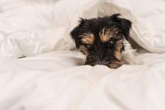 Χαριτωμένος μικρός ύπνος σκυλιών στο κρεβάτι με την άσπρη κλινοστρωμνή - ανυψώστε το τεριέ του Russell με γρύλλο στοκ εικόνα με δικαίωμα ελεύθερης χρήσης