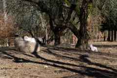Χαριτωμένος νεογέννητος λίγο αρνί που βρίσκεται στα πρόβατα, μητρικη έννοια αγάπης Στοκ Φωτογραφία