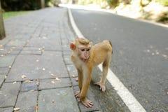 Χαριτωμένος πίθηκος που περπατά στο δρόμο στην Ινδία Στοκ Εικόνες