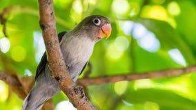 Χαριτωμένος παπαγάλος στις τροπικές δασικές Μαλδίβες άγριο δάσος τραγουδιού φύσης αγάπης αγριόγαλλων στοκ εικόνες