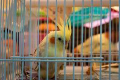Χαριτωμένος παπαγάλος σε ένα κλουβί Στοκ φωτογραφίες με δικαίωμα ελεύθερης χρήσης