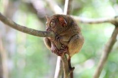 Χαριτωμένος πιό tarsier Στοκ Εικόνα