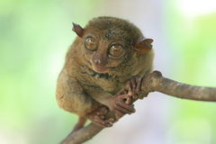 Χαριτωμένος πιό tarsier Στοκ Φωτογραφία