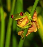 Χαριτωμένος πράσινος βάτραχος Στοκ εικόνες με δικαίωμα ελεύθερης χρήσης