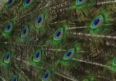Χαριτωμένος πράσινος στενός επάνω φτερών peacock Στοκ Εικόνα