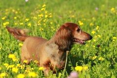 Χαριτωμένος πρεσβύτερος dachshound σε ένα λιβάδι Στοκ εικόνα με δικαίωμα ελεύθερης χρήσης