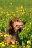 Χαριτωμένος πρεσβύτερος dachshound σε ένα λιβάδι Στοκ Εικόνες