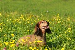 Χαριτωμένος πρεσβύτερος dachshound σε ένα λιβάδι Στοκ Εικόνα