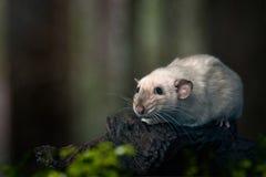 Χαριτωμένος σιαμέζος αρουραίος σε έναν κορμό δέντρων Στοκ Φωτογραφία