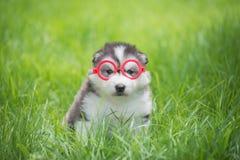 Χαριτωμένος σιβηρικός γεροδεμένος στα κόκκινα γυαλιά κύκλων Στοκ Εικόνες