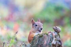 Χαριτωμένος σκίουρος με το στόμα ανοικτό Στοκ Φωτογραφίες