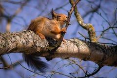 Χαριτωμένος σκίουρος που γλείφει τον κλάδο Στοκ Εικόνες