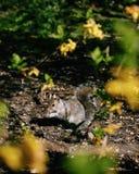 Χαριτωμένος σκίουρος που τρώει κάτω από την ηλιοφάνεια Στοκ Εικόνα