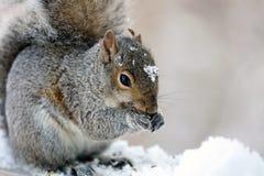 Χαριτωμένος σκίουρος που τρώει στην ξύλινη κάλυψη φρακτών στο άσπρο χιόνι, χαριτωμένο τρωκτικό