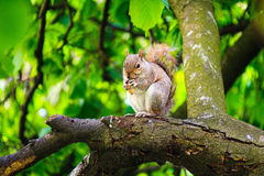 Χαριτωμένος σκίουρος που τρώει στο δέντρο, Λονδίνο Στοκ Εικόνες