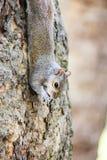 Χαριτωμένος σκίουρος που τρώει στο δέντρο, Λονδίνο Στοκ Φωτογραφίες