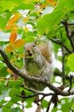 Χαριτωμένος σκίουρος, σε ένα δέντρο, που τρώει ένα βελανίδι Στοκ Εικόνα